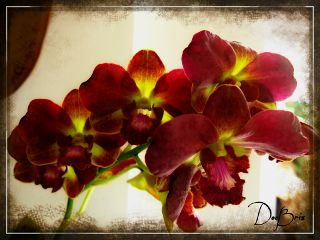 photography nature flower redorchid