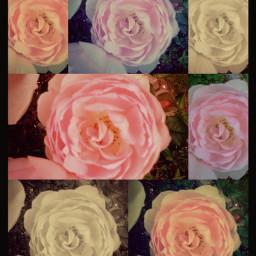 rose spring sepia rain nature