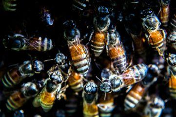 hdr macro bees