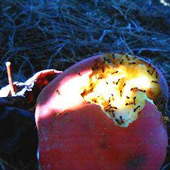 apples ants upstateny nature